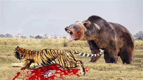 real fights who will win between a tiger and the best tiger of 2018