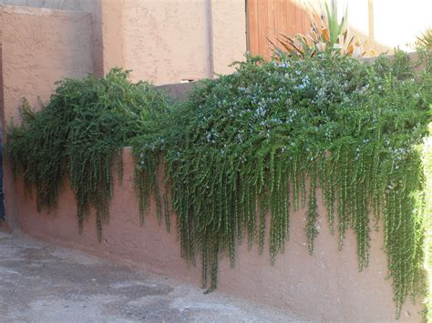 plants that drape over walls the sonoran desert gardener rosemary trails green and blue