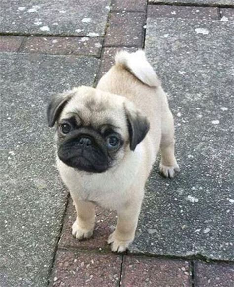 why pugs 19 reasons why pugs are the worst dogs to live with