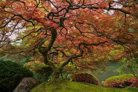 picture of the day portland s japanese maple 171 twistedsifter