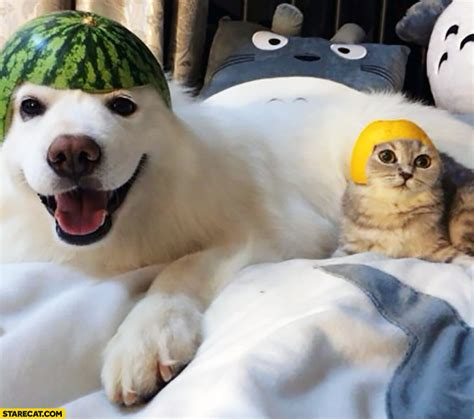 dogs and watermelon happy with watermelon on his cat with lemon on his starecat