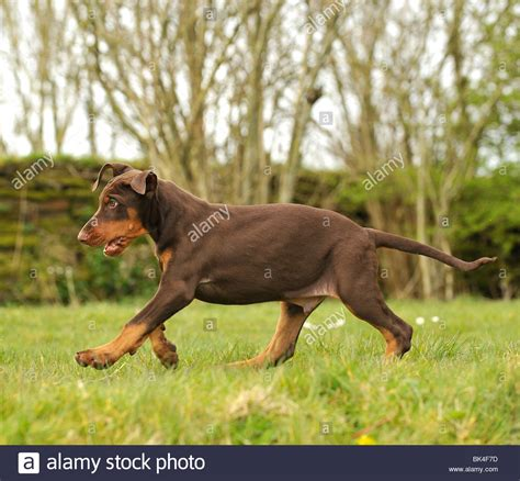 brown doberman puppies pin puppy banding elastrator human castrations on