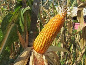 Harga Benih Jagung Manis Per Kg asal rasa manis pada jagung manis benih pertiwi