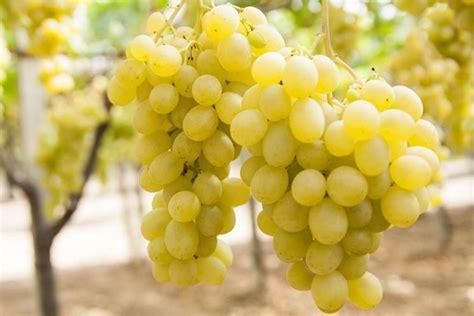uva da tavola nomi uva uva caratteristiche dell uva