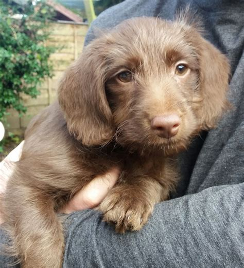 doxie doodle puppies for sale gorgeous dachshund x poodle doxiedoodle manchester
