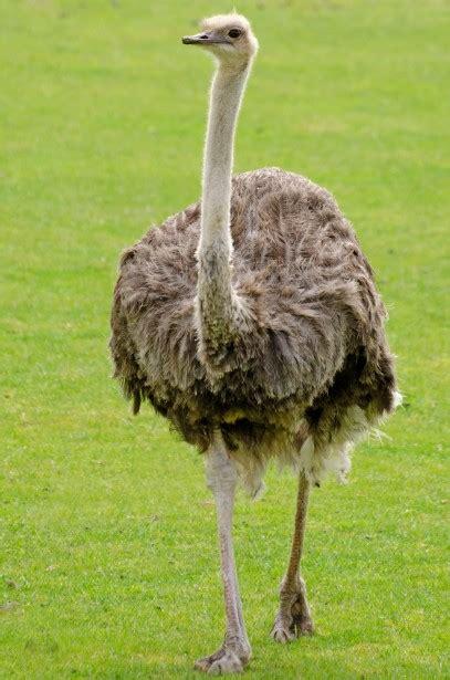 emu  stock photo public domain pictures