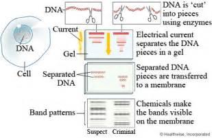 celestine s csi journal 2012 10th lesson dna fingerprinting