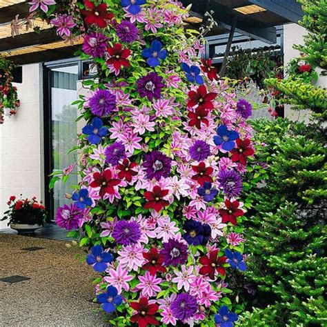 list of climbing plants 50pcs lot 24 colours beautiful clematis seeds clematis