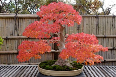 bonsai with japanese maples japanese maple bonsai i love gardening