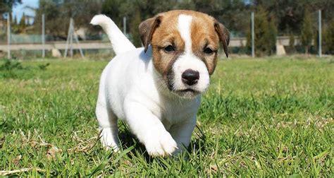 imagenes perros jack russell terrier todo sobre la raza jack russell terrier caracter 237 sticas