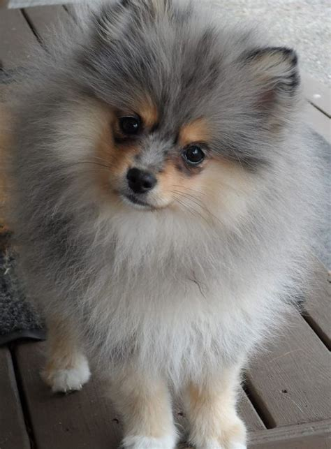 can all pomeranians look like boo 25 best ideas about pom on pomeranian boo and baby dogs