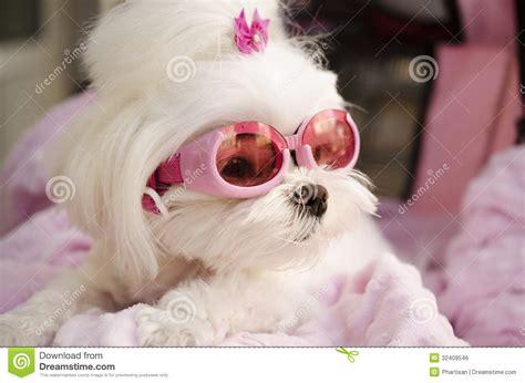 cute fashion diva puppy maltese stock photo image of