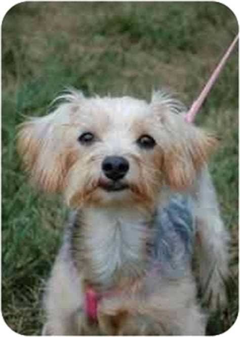 sc yorkie rescue adopted columbia sc yorkie terrier dachshund mix