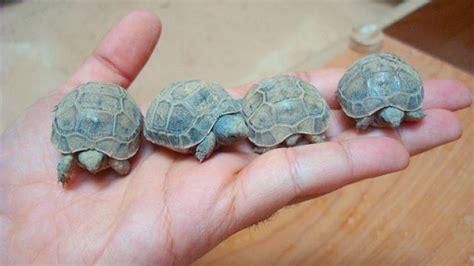 alimentazione tartarughe di terra piccole come distinguere il delle tartarughe deabyday tv