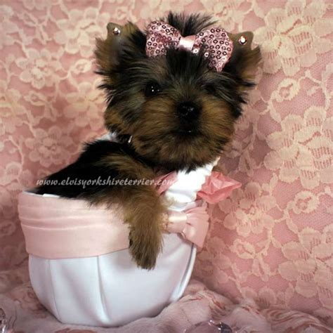 where can i buy a teacup yorkie for cheap small yorkie for sale iris