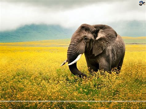 wallpaper full hd elephant elephant photography wallpaper wallmaya com