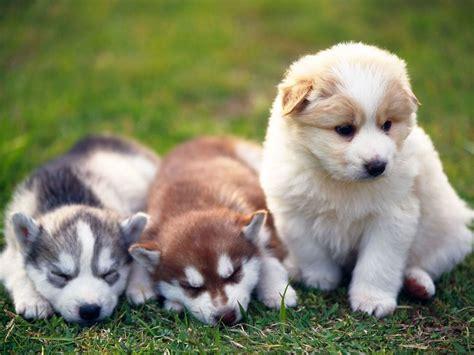 pomsky dogs pomsky breed standards