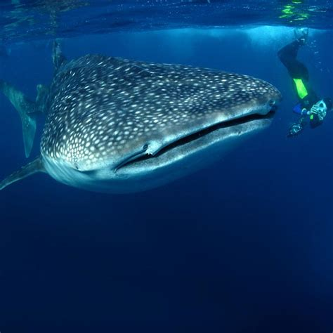 dive with whale sharks diving with whale sharks dive worldwide