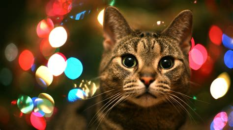 tabby cat in christmas lights high quality wallpapers