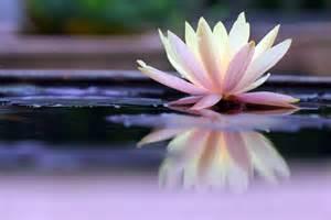 Lotus Acupuncture Lotus Flower Acupuncture