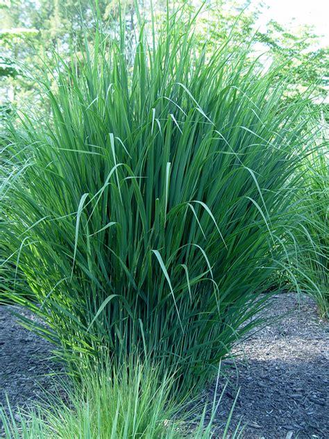 northwind switch grass panicum virgatum pictures