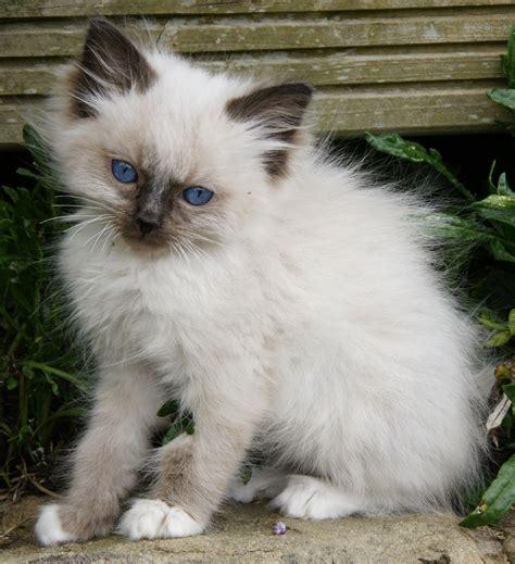 3 year ragdoll cats ragdoll kittens keighley west pets4homes