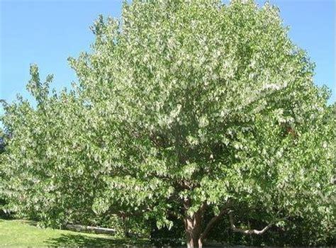 tree doves the legend of the dove tree