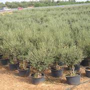potatura olivo in vaso ulivo in vaso alberi da frutta ulivo in vaso