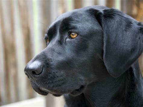lab puppies houston labrador retriever is most popular once again in houston planet