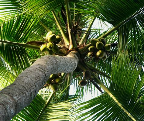 Uses Of The Coconut Palm by 69 Clever Uses For Coconuts Not Just The
