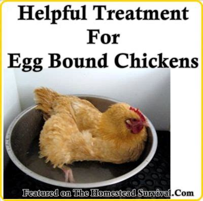 Backyard Chickens Egg Bound Homestead Survival The Homestead And Homesteads On