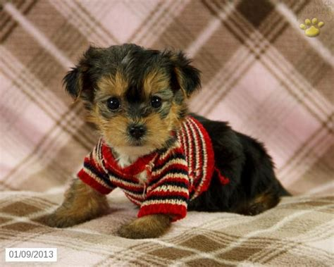 what do yorkie poos look like bessie yorkiepoo dogs puppy for sale in lykens yorkiepoo1