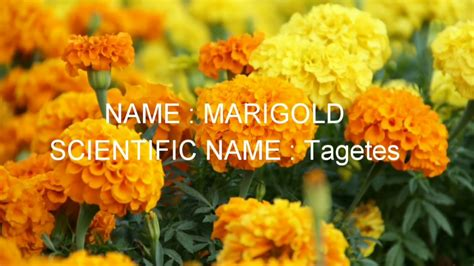 list of flower names with scientific name family and pictures scientific names of flowers list thin blog
