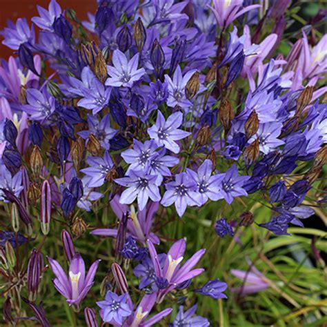 annie s annuals perennials bare root bulb bonanza