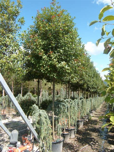 photinia fraseri full standard  leaf topiary