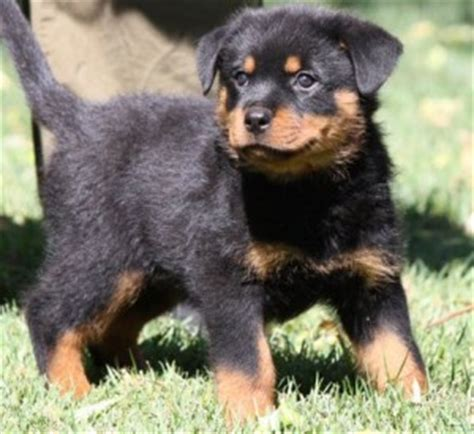 rottweiler puppies for sale in illinois cats free classified ads