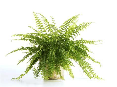felce da vaso piante portafortuna da regalare a natale pollicegreen