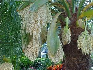 Fruit Trees For Central Florida - pygmy date palm phoenix roebelenii article