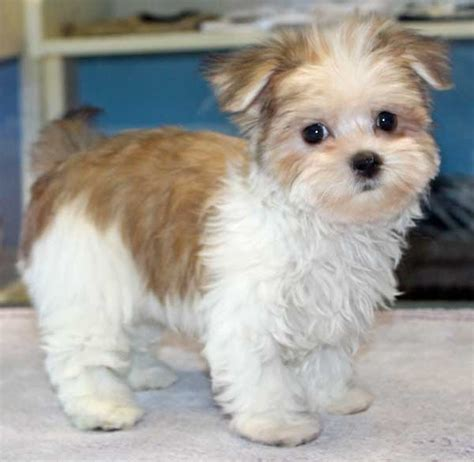 puppies for sale in florida morkie puppies for sale florida zoe fans baby animals