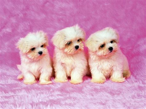 wallpaper for desktop puppies free puppy wallpapers for computer wallpaper cave