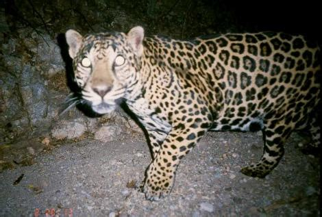 jaguars in arizona and a further south
