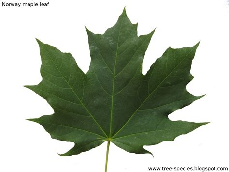 the world 180 s tree species norway maple leaf