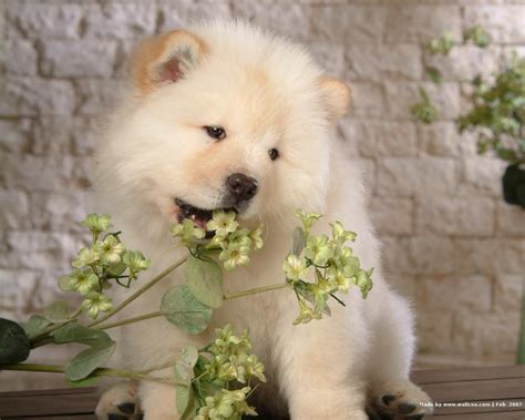 chow puppies puppies images chow chow puppy wallpaper wallpaper photos