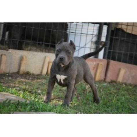 pitbull puppies san antonio bexar county bullies american pit bull terrier breeder in san antonio listing
