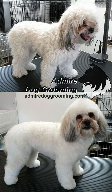 poodle shih tzu mix hair cut 32 best images about before and after on pinterest