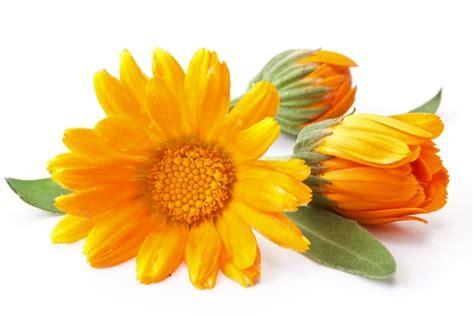 fiore calendula fitoterapia per i dolori mestruali cure naturali it