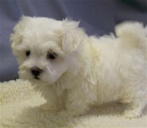 white maltipoo puppies white teacup maltipoo puppies for rehoming leicester 29312908