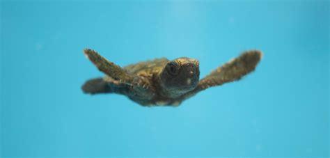georgia aquarium  safe haven   rescued baby turtles  hurricane irma