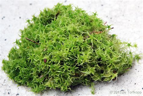 growing sphagnum moss