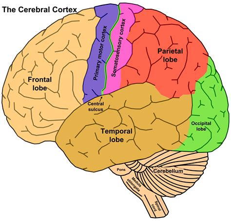 sections of the brain the brain concept with synaesthesia the syn moment